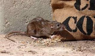 rattenbestrijding