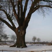 Dikke Eik in winter
